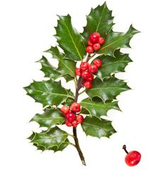 Find Branch European Holly Ilex Isolated On stock images in HD and millions of other royalty-free stock photos, illustrations and vectors in the Shutterstock collection. Thousands of new, high-quality pictures added every day.