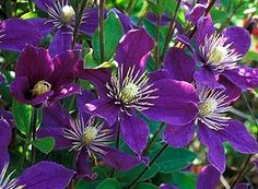 pictures purple clematis - Google Search