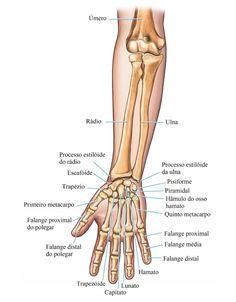 Ossos da mão e do braço Human Skeleton Anatomy, Human Body Anatomy, Human Anatomy And Physiology, Muscle Anatomy, Medicine Notes, Medicine Student, Radiology Student, Medical Anatomy, Anatomy Study