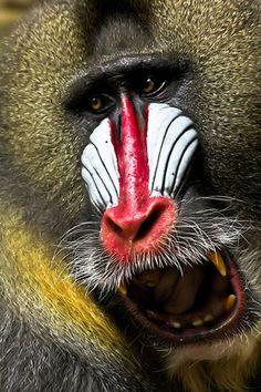 baboon..