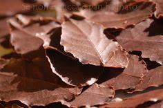 Se non è zucca è pan bagnato: Foglie di cioccolato