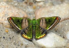 Brilliant Greenmark (Caria mantinea), seen with  Sunstreak Tours in Napo, Ecuador - photo by Jeffrey Glassberg, via Flickr;  Neotropical butterfly