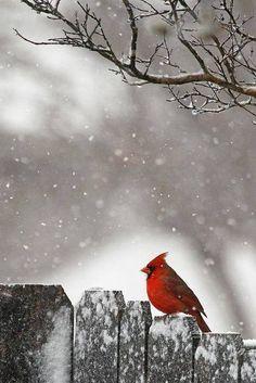 Red Cardinal autumn bird fall berries wildlife cardinal waxwing