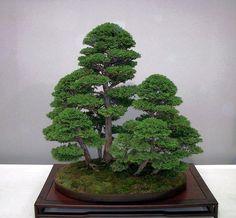 Juniper Bonsai, Forest style (Yose-ue).