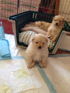 How the Pomeranian puppies sit- I want one