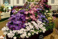 Powojniki na Chelsea Flower Show