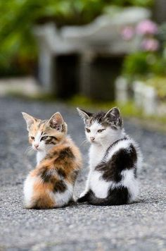 Cat Care Kittens A calico kitten and a dotted friend Cute Baby Cats, Cute Cats And Kittens, Cute Baby Animals, Animals And Pets, Funny Animals, Funny Cats, Animals Photos, Kittens Cutest Baby, Baby Dogs
