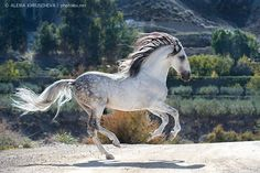littleclevercat:Andalusian stallion Avatar II. Photo by Alexia Khruscheva