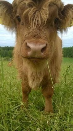 25 pictures of cute Highland Cows that will definitely melt your heart - Scotland Now Cute Baby Cow, Baby Cows, Cute Cows, Baby Elephants, Scottish Highland Cow, Highland Cattle, Mini Highland Cow, Highland Cow Pictures, Fluffy Cows