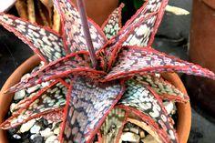 Andrew Maltman Wrasse Aloe