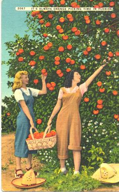 Linen Postcard It's Always Orange Picking Time in Florida Old Florida, Vintage Florida, Broward County Florida, Florida Images, Fruit Picking, Aesthetic Drawing, Book Aesthetic, Vintage Theme, Vintage Postcards