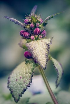 "Lamium is a genus of about 40-50 species of flowering plants in the family Lamiaceae. Commonly called, ""deadnettle""."