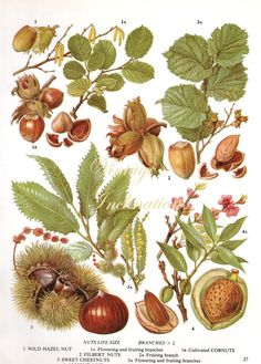 Vintage Botanical Print Antique HAZEL NUT by VintageInclination