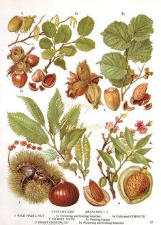 Vintage amande de châtaignes botanique par VintageInclination