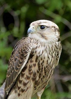 Faucon laggar // Lagger Falcon by Henrietta Oke -