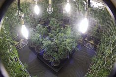 Indoor Vertical Grow Systems 101 - Page 11 - Vertical / Colosseum Growing - International Cannagraphic Magazine Forums Growing Weed, Cannabis Growing, Cannabis Oil, Weed Plants, Marijuana Plants, Buy Cannabis Online, Buy Weed Online, Grow Room, How To Make Oil