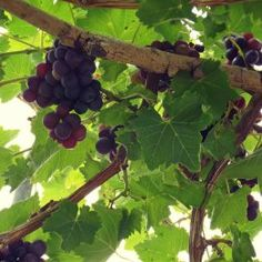 Grapes grown in the polytunnel at Green Futures, Grimsby.