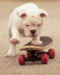 Skateboard. our future dog is guaranteed to skate lol