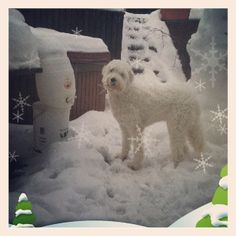 Honey my labradoodle in the snow
