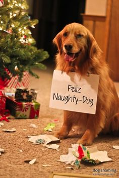 "week three caption winner...""Feliz naughty dog!"" ~ Dog Shaming shame - Golden Retriever"
