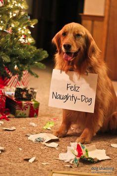 "week three caption winner...""Feliz naughty dog!"" ~ Dog Shaming shame - Golden Retriever"