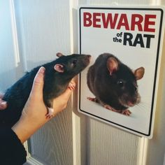 Funny Rats, Cute Rats, Cute Funny Animals, Cute Baby Cow, Cute Babies, Rodents, Hamsters, Animal Pictures, Funny Pictures