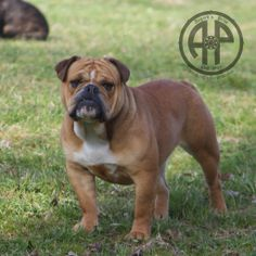 Continental Bulldog, Bulldog Breeds, Old English Bulldog, Bulldogs, Pride, June, Pets, Animals And Pets