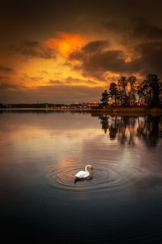 A lonely swan swimming in water on a freezing evening.