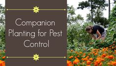 Gardening For Beginners Companion Planting for Pest Control - The Beginner's Garden - What can you plant in your garden to keep pests away? Skip the old wives' tales and learn these science-backed tips for companion planting for pest control. Slugs In Garden, Garden Insects, Garden Pests, Veg Garden, Gardening For Beginners, Gardening Tips, Gardening Vegetables, Organic Insecticide, Growing Tomatoes In Containers