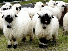 Valais Blacknose Sheep might look like needle-felted stuffed animals, but luckily they are actually real, adorable creatures! Fluffy Animals, Felt Animals, Animals And Pets, Cute Animals, Beautiful Creatures, Animals Beautiful, Tibet Terrier, Valais Blacknose Sheep, Black Faced Sheep