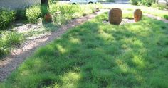 Buffalo Grass - prefers heavy soils; intolerant of shade; low water