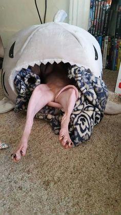 Shark & Sphynx...