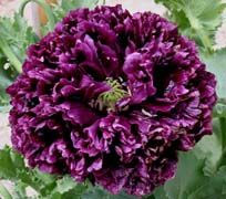 """Black peony poppy: A New Moon plant, this annual plant has a dark purple double flower and grows up to 3 feet tall. This is an older version of Black Cloud, which I used to carry until the wholesale price got ridiculous. As you can see by the pic a customer sent in, it is quite frilly and very Victorian in appearance, but this type and color of poppy has surprisingly been grown since the Middle Ages."""