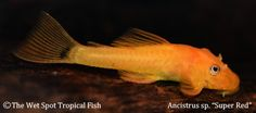 "Ancistrus sp. ""Super Red"""