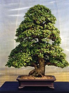 Portulacara bonsai, aka Elephant Plant