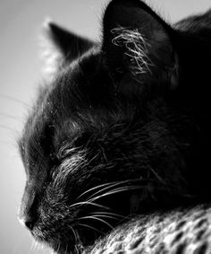 """Cats are rather delicate creatures who are subject to a good many ailments, but I have never known one who suffered from insomnia."" --Louis J Camuti"