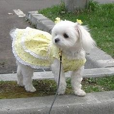 🌼🌼🌼💛Very pretty missy! Baby Dogs, Pet Dogs, Pets, Cute Dog Clothes, Girl Dog Clothes, Dog Tutu, Dog Clothes Patterns, Puppies And Kitties, Dog Items