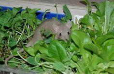 fun rat stuff  little rattie garden! Great idea!