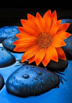 Beautiful orange flower just sitting on blue rocks while it still rains Lovely Good Night, Good Night Image, Flower Phone Wallpaper, Wallpaper Backgrounds, Orange Flowers, Orange Color, Beautiful Flowers, Beautiful Pictures, Simply Beautiful