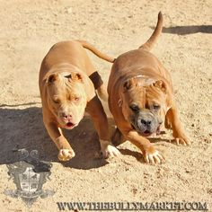 Golden Boy and Thee Buss. Two American Bully dogs chasing after their rope.