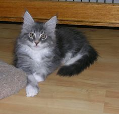 Blue Silver with White Classic Tabby Maine Coon Kitten by taelcat, via Flickr