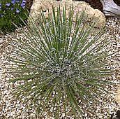 Agave geminiflora  Ker Gawl 1817
