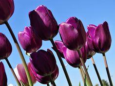 Lilac Tulip (Caravelle) - 30 - Leylak Lale  Uluslararası Demokrasi Parkı  Zeytinburnu / İstanbul