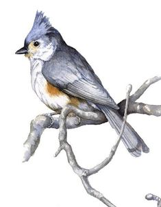 Items similar to Tufted Titmouse limited edition GICLEE print. Reproduction of the watercolor painting by Cinda Serafin. on Etsy Watercolor Beginner, Watercolor Bird, Watercolor Paintings, Bird Paintings, Horse Drawings, Bird Drawings, Cool Drawings, Bird Sketch, Bird Artwork