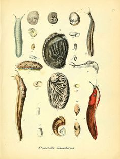 Detailed studies of Molluscs