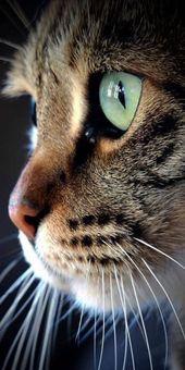 - belleza - Juliet & sKatzenundKitty - Belleza – – sKatzenundKätzchen -Belleza - belleza - Juliet & sKatzenundKitty - Belleza – – sKatzenundKätzchen - These pretty kittens will make you happy. Cats are amazing friend. Pretty Cats, Beautiful Cats, Animals Beautiful, Cute Baby Animals, Animals And Pets, Funny Animals, Nature Animals, Cute Cats And Kittens, Cool Cats
