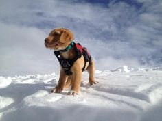 Avalanche dog in training!