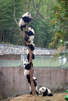 Information about types of pandas that exist in the world. Not only that, you can find fun facts about giant pandas and red pandas too. Baby Animals Pictures, Cute Animal Pictures, Cute Little Animals, Cute Funny Animals, Nature Animals, Animals And Pets, Panda Tree, Pet Birds, Animals Beautiful