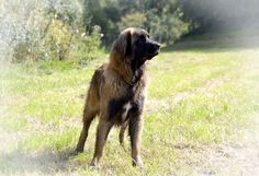 leonberger bubba 11 months old
