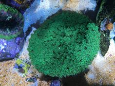 Cup coral. Coral